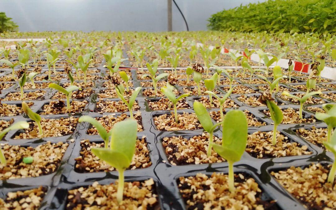 El plantel de la semilla de nuestro melón